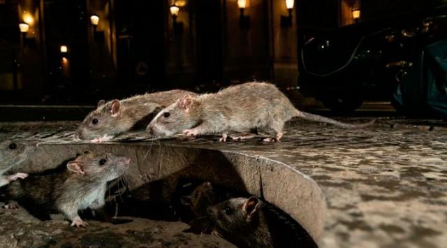Ratos canibais 'superagressivos' sobem pelas privadas procurando comida no Reino Unido