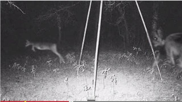 Fato estranho: Demônio alado é registrado na câmera perseguindo cervos?